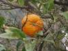 Портокалите - 5