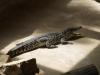 Крокодили - 1