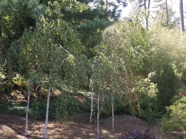 Дървета - 1