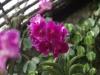 Орхидеи - 6
