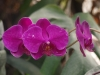 Орхидеи - 8