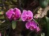 Орхидеи - 9